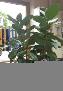7. rubber tree plant