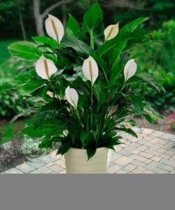 8 Peace Lily