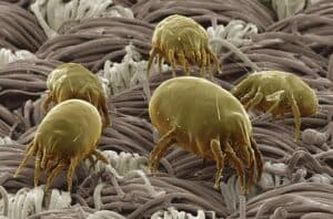 Dust mites. Household Allergens